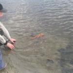 Выпуск карпа в озеро